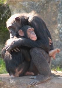 chimps2