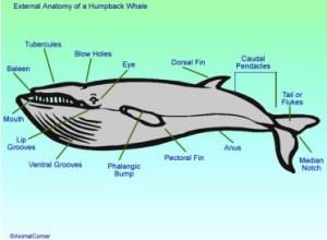 whale_humpdaigsml